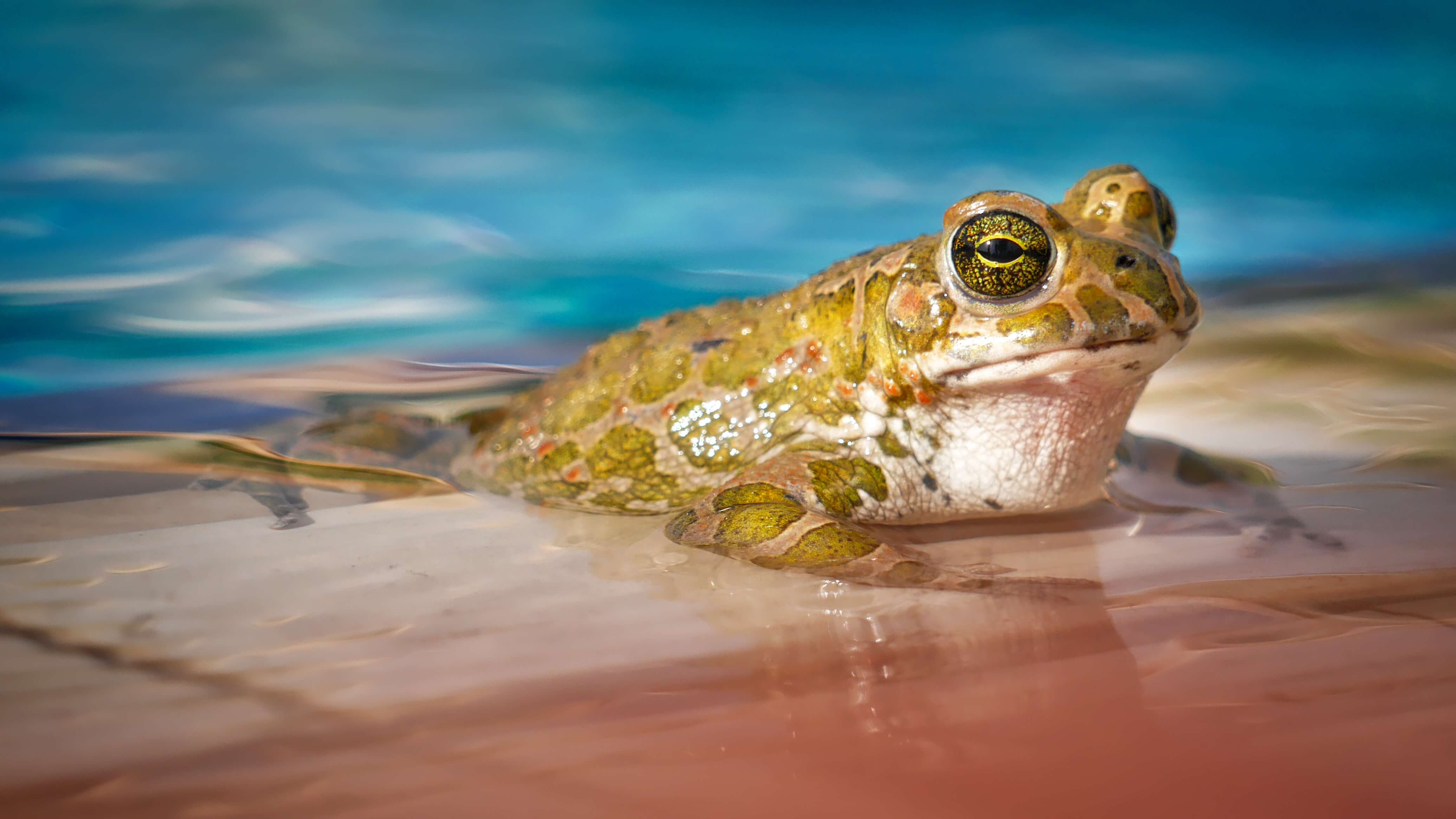 Pool Party Frog Wide